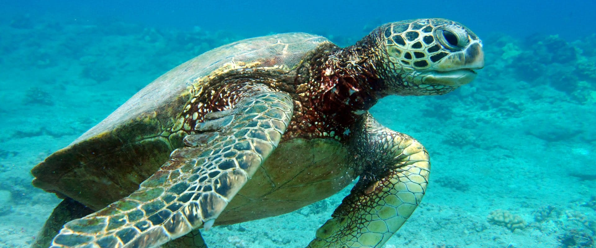 Experience swimming with Green sea turtles