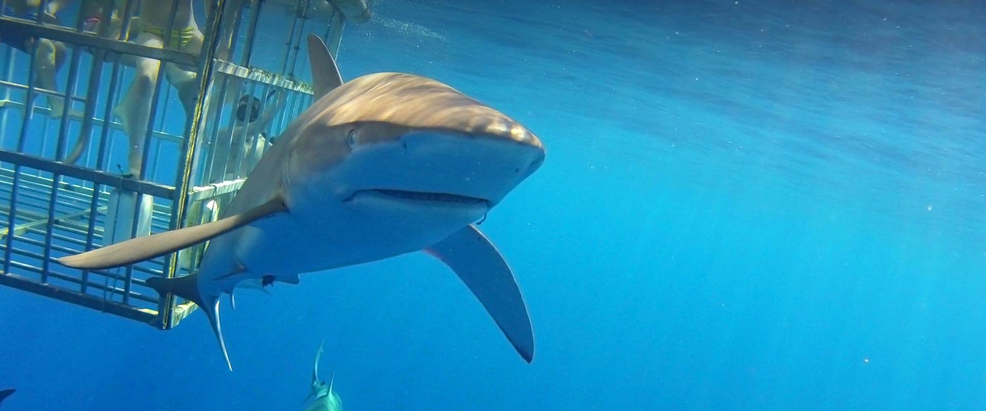 Experience this amazing Hawaii shark encounter